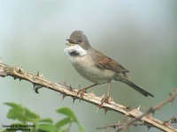 Sylvia communis - Whitethroat