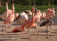Phoenicopterus chilensis - Chilean Flamingo