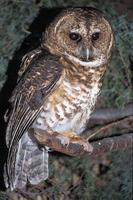 Strix hylophila - Rusty-barred Owl