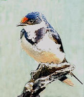 Image of: Hirundo albigularis (white-throated swallow)