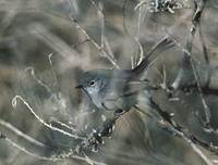 California Gnatcatcher (Polioptila californica) photo