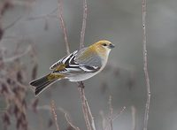 Pine Grosbeak (Pinicola enucleator) photo