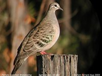 Common Bronzewing - Phaps chalcoptera