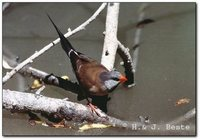 Long-tailed Finch - Poephila acuticauda