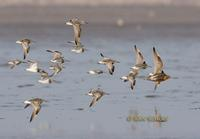 Great knot C20D 03020.jpg