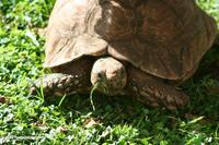 Large tortoise feeding on lawn grass