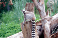 : Lemur catta; Ring Tailed Lemur