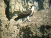 ...An Osprey was feeding on a fish on the steep banks of Nelson Lake, Oliver Co.  Photo by Corey El