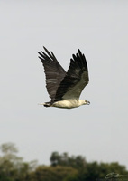 Haliaeetus leucogaster  White-bellied Sea Eagle photo