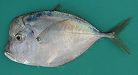 Selene dorsalis, African moonfish: fisheries
