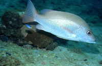 Lutjanus goreensis, Gorean snapper: fisheries