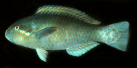 Scarus dimidiatus, Yellowbarred parrotfish: fisheries, aquarium