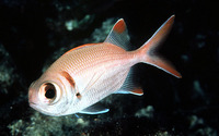 Myripristis kuntee, Shoulderbar soldierfish: fisheries, aquarium