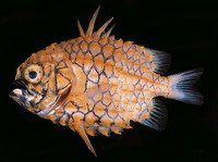 Cleidopus gloriamaris, Pineapplefish: aquarium