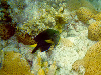 Stegastes pictus, Yellowtip damselfish: aquarium