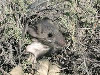 Image of: Neotoma cinerea (bushy-tailed woodrat)
