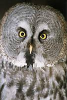 Strix nebulosa - Great Grey Owl