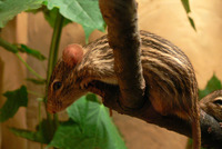 Lemniscomys barbarus - Barbary Striped Grass Mouse