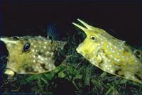 Image of: Lactoria cornuta (horned boxfish)