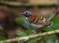Spotted Antbird (Hylophylax naevioides) photo
