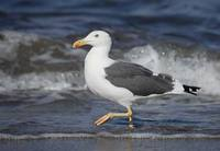 Yellow-footed Gull (Larus livens) photo