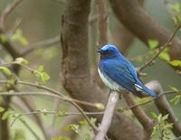 Blue-and-White Flycatcher (Cyanoptila cyanomelana) photo