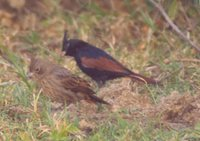 Crested Bunting - Melophus lathami