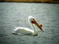 An American White Pelican photographed during a FONT tour