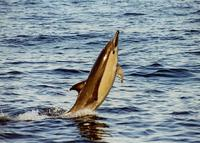 Long Beaked Common Dolphin