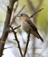 Dark-sided flycatcher C20D 03949.jpg