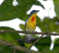 Crimson-breasted Flowerpecker (male)