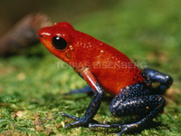: Oophaga pumilio; Strawberry (red) Poison Frog
