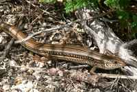 : Ctenotus robustus; Eastern Striped Skink