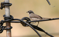 Hume's Lesser Whitethroat