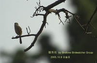 때까치 Bull-headed Shrike