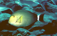 Acanthurus xanthopterus, Yellowfin surgeonfish: fisheries, aquarium