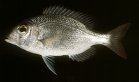 Gymnocranius microdon, Blue-spotted large-eye bream: fisheries