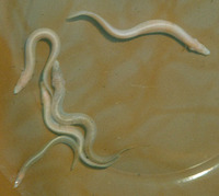 Mastacembelus brichardi, Blind spiny eel: fisheries, aquarium