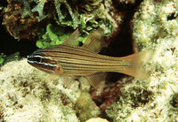 Apogon multilineatus, Many-lined cardinalfish: