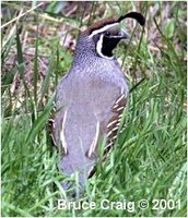 Valley Quail Callipepla californica