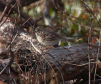 Image of: Melospiza lincolnii (Lincoln's sparrow)