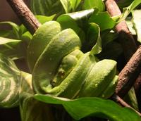 Image of: Morelia viridis (green tree python)