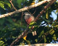 Spotted Imperial Pigeon - Ducula carola