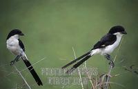 Long tailed fiscal , Lanius cabanisi , Mikumi National Park , Tanzania stock photo