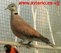 Red Collared Dove Streptopelia tranquebarica