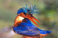 : Alcedo cristata; Malachite Kingfisher