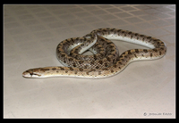 : Arizona occidentalis candida; Mojave Glossy Snake