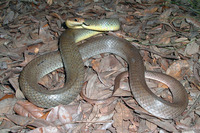 : Coluber constrictor flaviventris; Eastern Yellow-bellied Racer