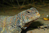 : Uromastyx ornatus; Ornate Spiny-tailed Lizard