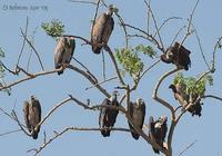 Image of: Gyps bengalensis (Indian white-backed vulture), Gyps indicus (Indian vulture)